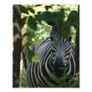 Zebra escondendo impressão fotográficas
