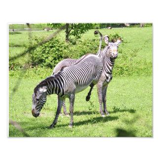 Zebra irritada impressão de foto