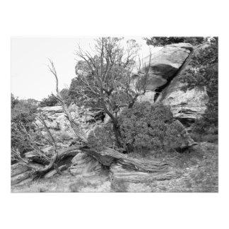 Zimbro nas rochas impressão de foto